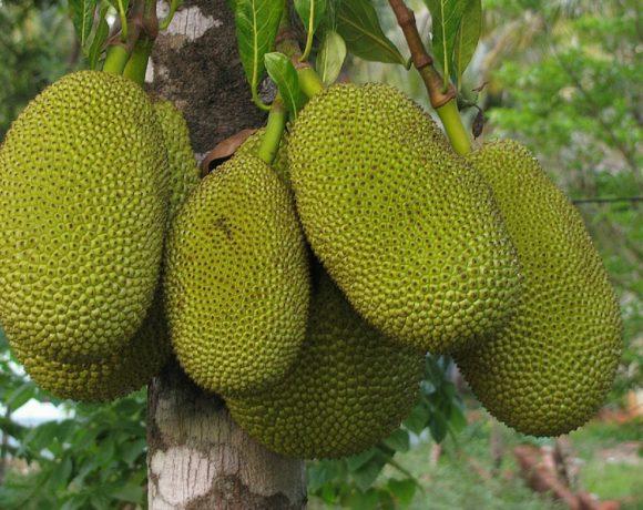 Jaque: il frutto più grande al mondo