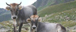 Razza grigio alpina