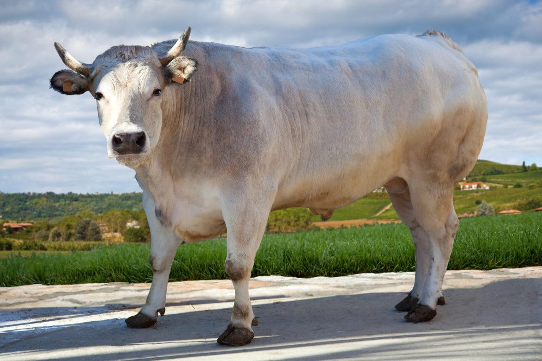 Il bue grasso è un bovino adulto di razza piemontese che ha almeno 4 anni  di età e che è stato castrato dopo 5 mesi circa dalla nascita. 96402e6a3c14