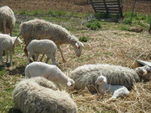 Pecora razza Valle del Belice
