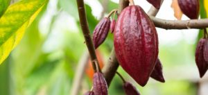 Fava di cacao rosa